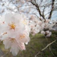 桜巡礼 2020 VOL.1