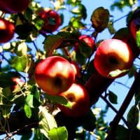 フォト旅日記『 三密もどこ吹く風か林檎園 』xzn2301