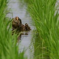 稲の列の細い間を歩く、タマシギの親子。