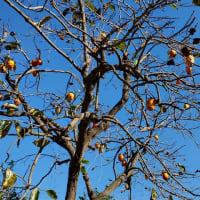 柿の木が冬の訪れを告げてるようで