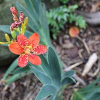「おはようの花」 檜扇 (ひおうぎ) 8月