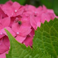 紫陽花(とハチのお尻♪)