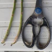 今日の収穫 タマネギ アスパラガス