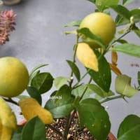 レモン 4