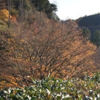 養老渓谷 紅葉状況のおしらせ 2012/12/08