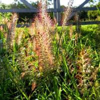花穂が輝いているイネ科のキンエノコロ、チカラシバ、ケチヂミザサ、