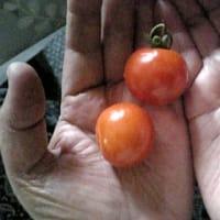 初物ミニトマト