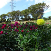 「10月12日(土)「月夜のダリア園」は台風19号接近の為、中止します。