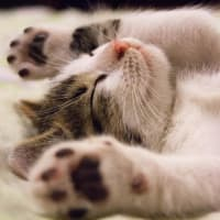 天使のような赤ちゃん猫の寝顔、こころから癒やされてください!!