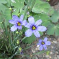 このお花、ちょっと見てクレマチス・・・