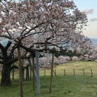 南阿蘇の桜