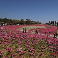 太田市八王子山公園(北部運動公園)の芝桜2021
