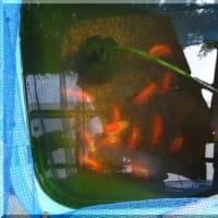 金魚(R1)