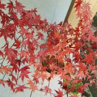 紅葉が紅葉