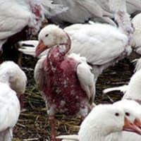 ダウンのために羽をむしられる鳥たち-「知ることでができてよかった、レポートしてくれてありがとう!」