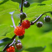 ホタル、ニワゼキショウ、コウゾの実、クサイチゴの実。木下闇(こしたやみ)