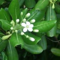 トベラの花は