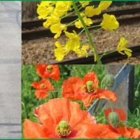 線路傍らの花
