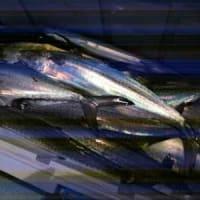 1/17(金):本日は潮無く活性悪くもハマチにサゴシはバッチリゲット!!!他にメジロもゲット!!!!!ヽ(*^^*)ノ