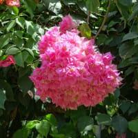 「温室の花たち」/大船フラワーセンター