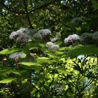 コアジサイの花