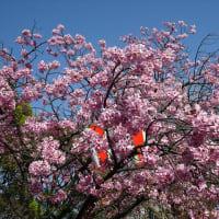 「桜」/上野公園2020