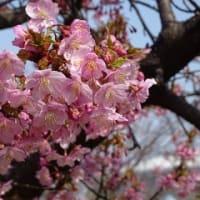 長居公園の河津桜