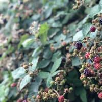 家の近所でブラックベリー摘み;今年も大収穫、おしっこ汚染の及ぶ高さの重大な考察