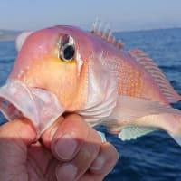 釣り魚の食べ時(1)アマダイ