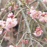 町内の桜や水芭蕉の様子(2019.4.24現在)