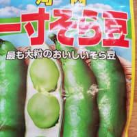 えんどうと空豆の種まき