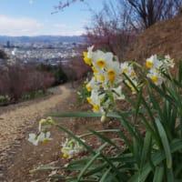 花見山周辺のカタクリは咲き始めた?(2020.3.15)#3 康善寺薬師堂を経て