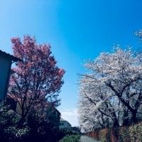 朝の散歩🌅小平霊園の桜がみごとでした(⋈◍>◡<◍)。✧♡