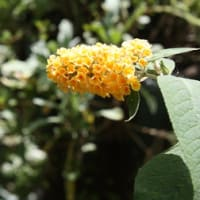 「おはようの花」 ブッドレア08-22