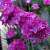 ヒナソウ(雛草) と アルメリア の花散歩