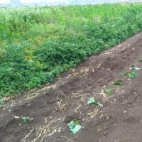 サツマイモの植え付け開始