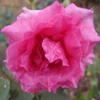 愛しい薔薇の花