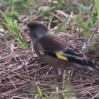 2014年4月1日の鳥撮り、初カワラヒワ。