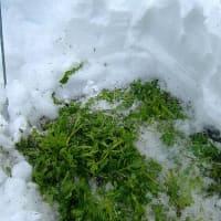大雪の中のヒヨドリと春菊