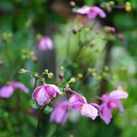 ●我が家の9月の花(4) アメジストセージ ヤブラン 雨のしずく