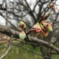 花散らしと梅の実