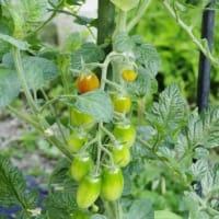 庭の野菜から!