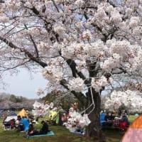 泉公園お花見3月31日2019年