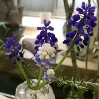 ムスカリと桑の花