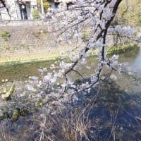 大岡川プロムナード 桜まつり2021その24