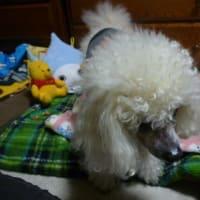老犬ラスさん動物病院へ…緊急事態宣言がもし出たら…(  ゚ ▽ ゚ ;)エッ!!