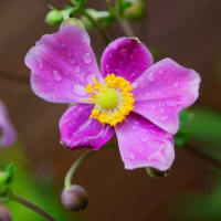 ●我が家の9月の花(6) ホトトギス青龍が開花  秋明菊・ダイアナ