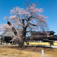 歓喜寺の江戸彼岸桜(2020)