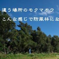 モクマオウ(木麻黄) 杉のような大きな木