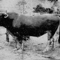 VOL91  明治の三陸の産業15 「畜産3 乳牛」 (九戸郡)